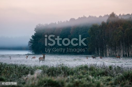 istock Red deer with his herd on foggy field in Belarus. 610237536