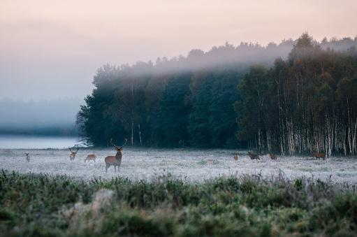 istock Red deer with his herd on foggy field in Belarus. 610237536