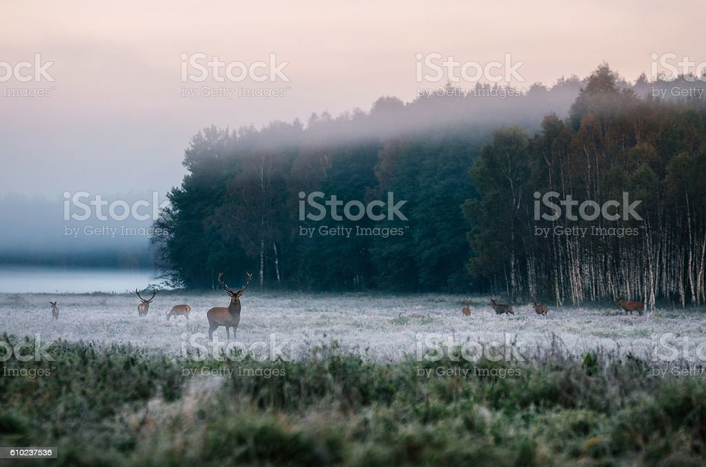 Red deer with his herd on foggy field in Belarus. stock photo
