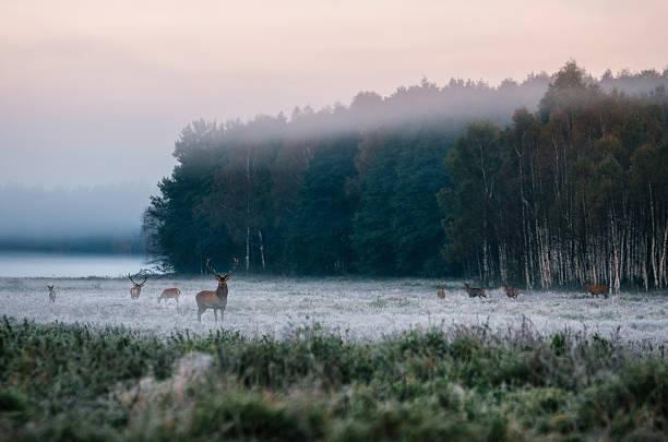 Red deer with his herd on foggy field in Belarus. - foto de stock