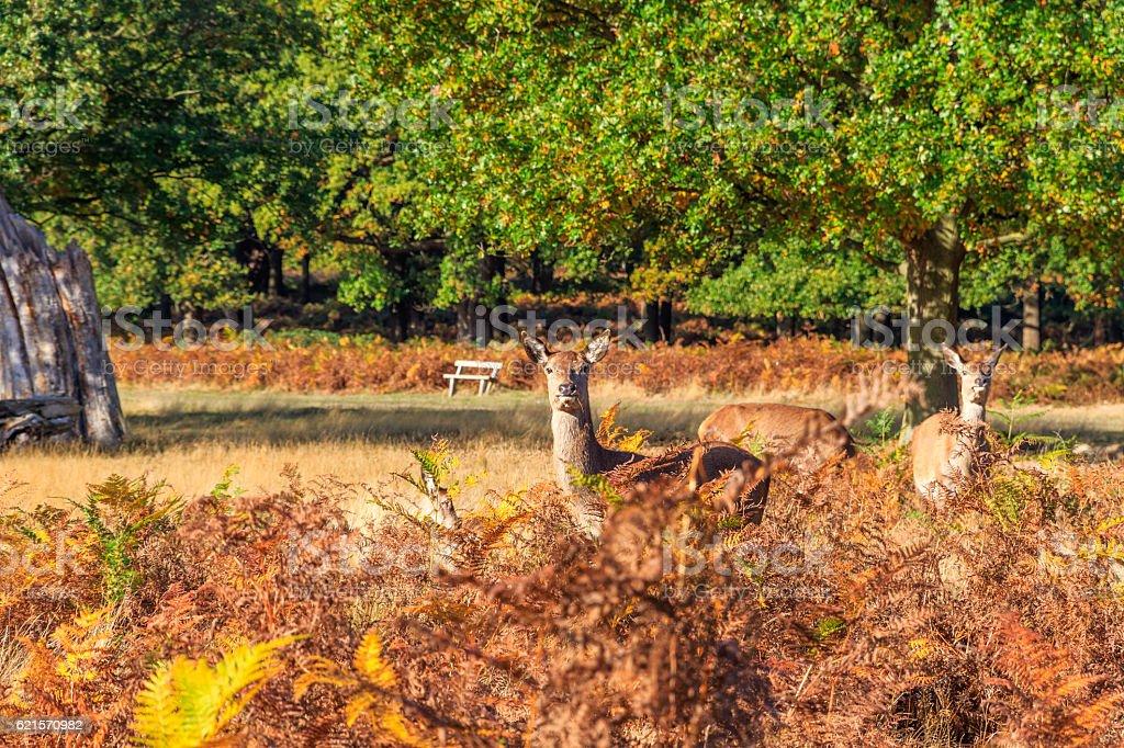 Red Deers in Richmond Park photo libre de droits