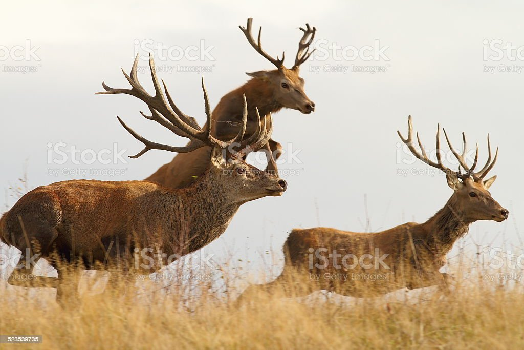 red deers on the run stock photo