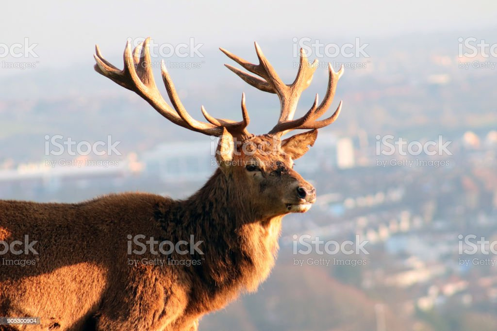Red Deer/Stag Overlooking City Skyline, Ashton Court Estate, Bristol, UK stock photo