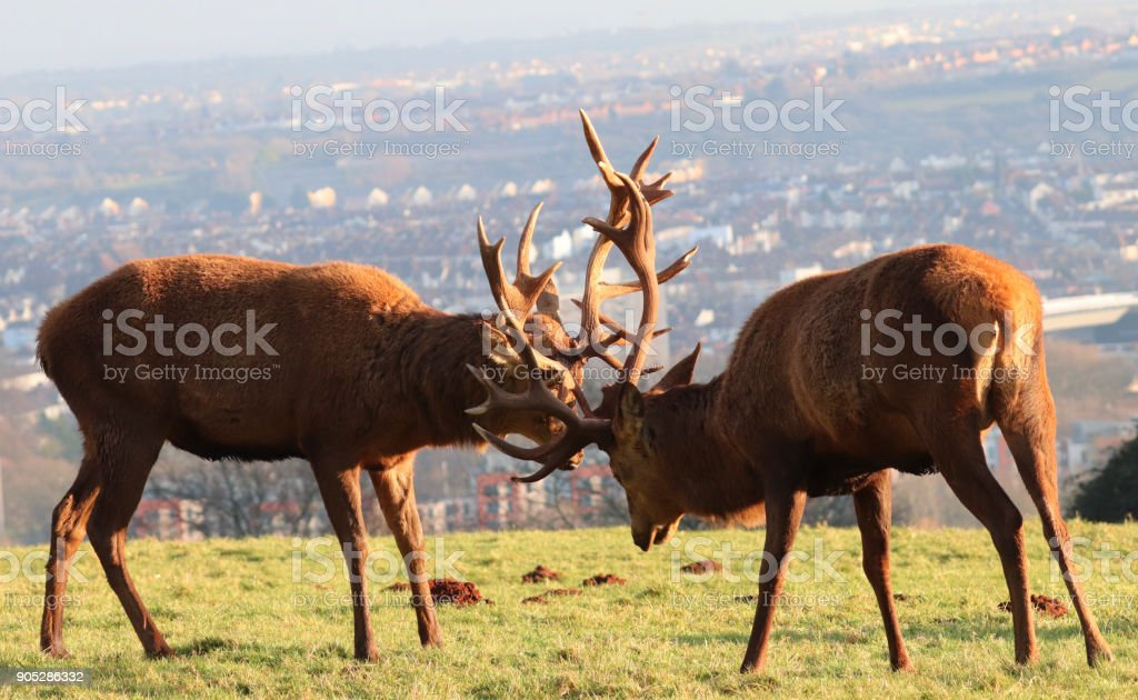 Red Deer/Stag Rutting at Ashton Court Estate, Bristol, UK stock photo
