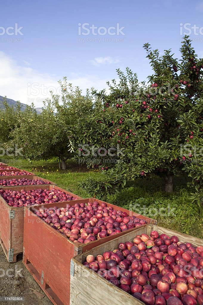 red delicious apple tree container bins harvest organic royalty-free stock photo