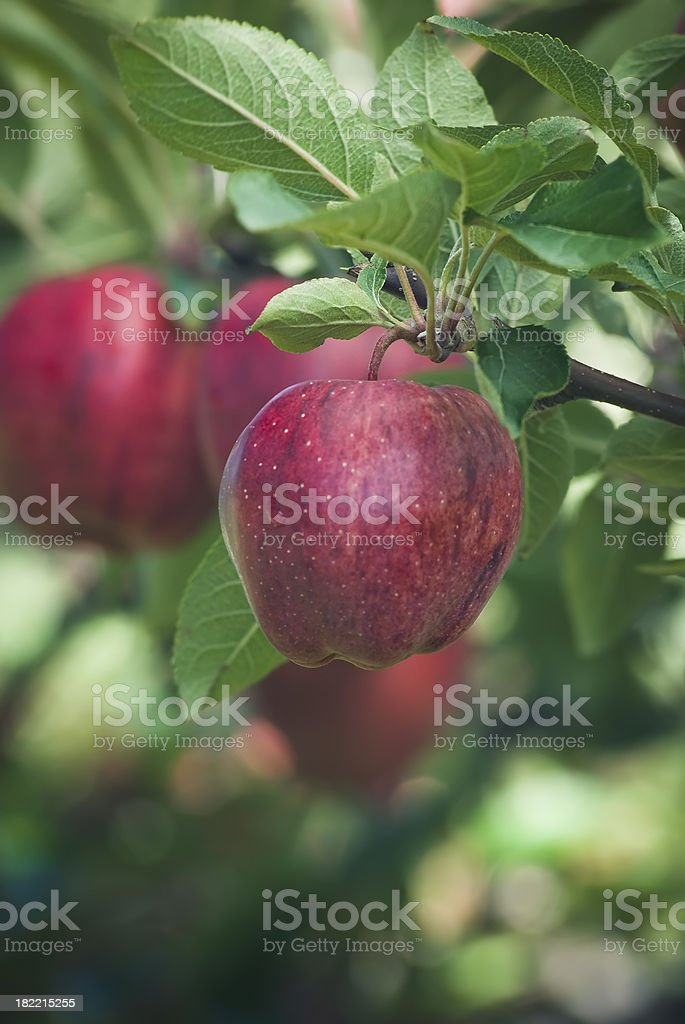 Red Delicious apples in the orchard royalty-free stock photo