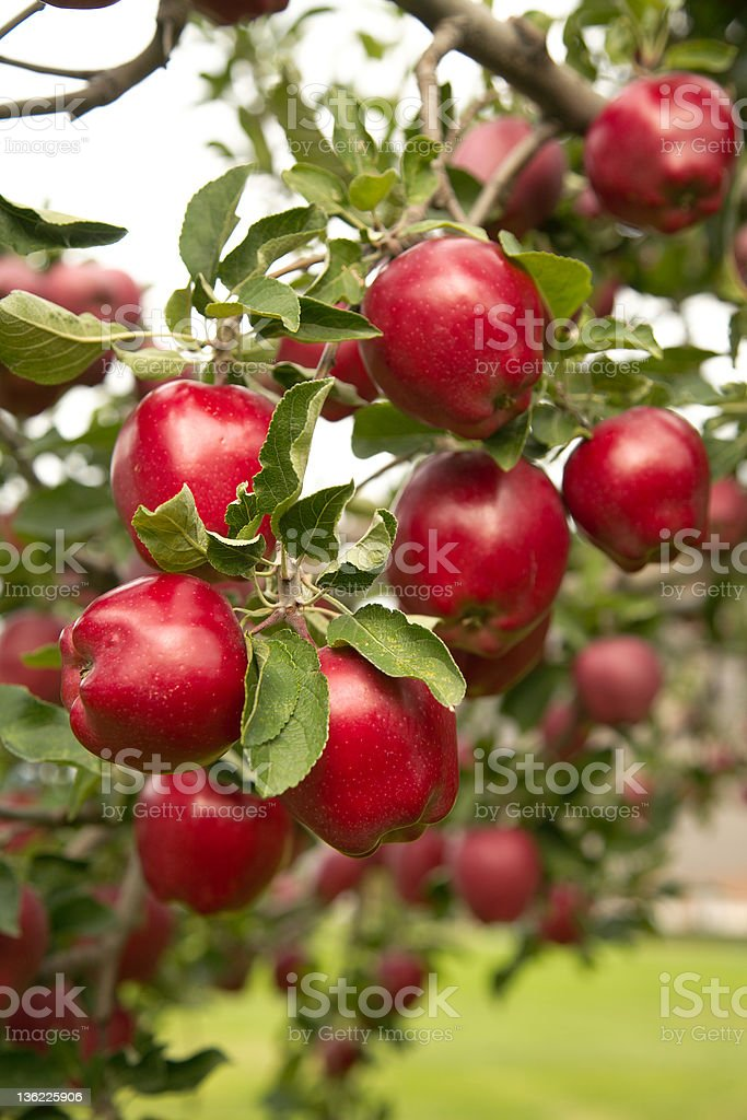 Red Delicious Apples. stock photo