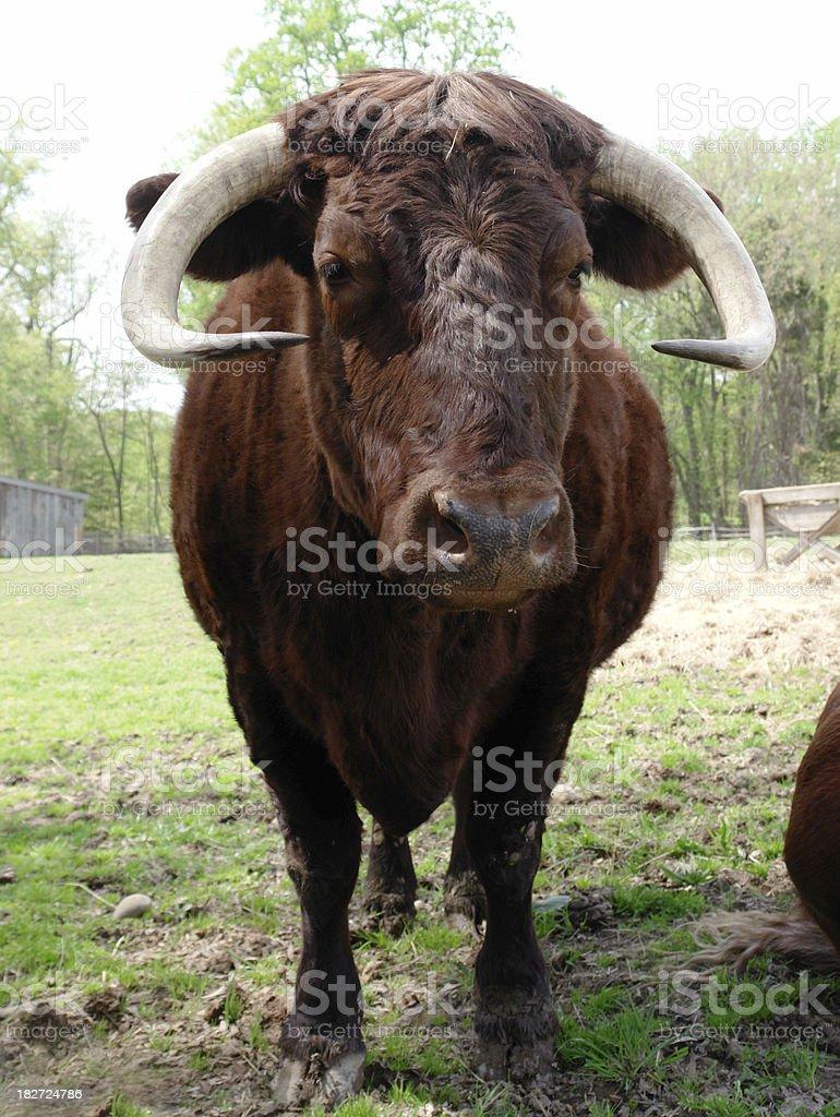 Red Devon bull stock photo