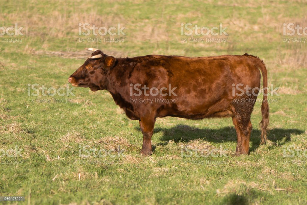 Red Dexter bull standing in field stock photo