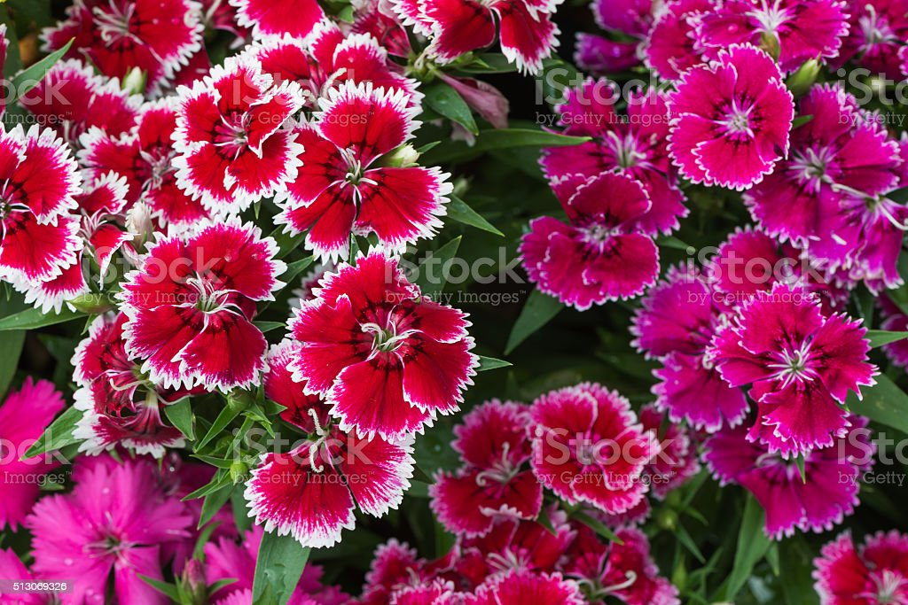 red Dianthus flower stock photo