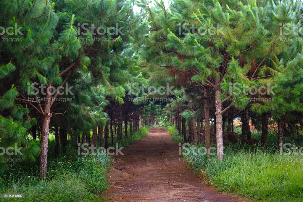 Red dirt road inside a pine plantation stock photo