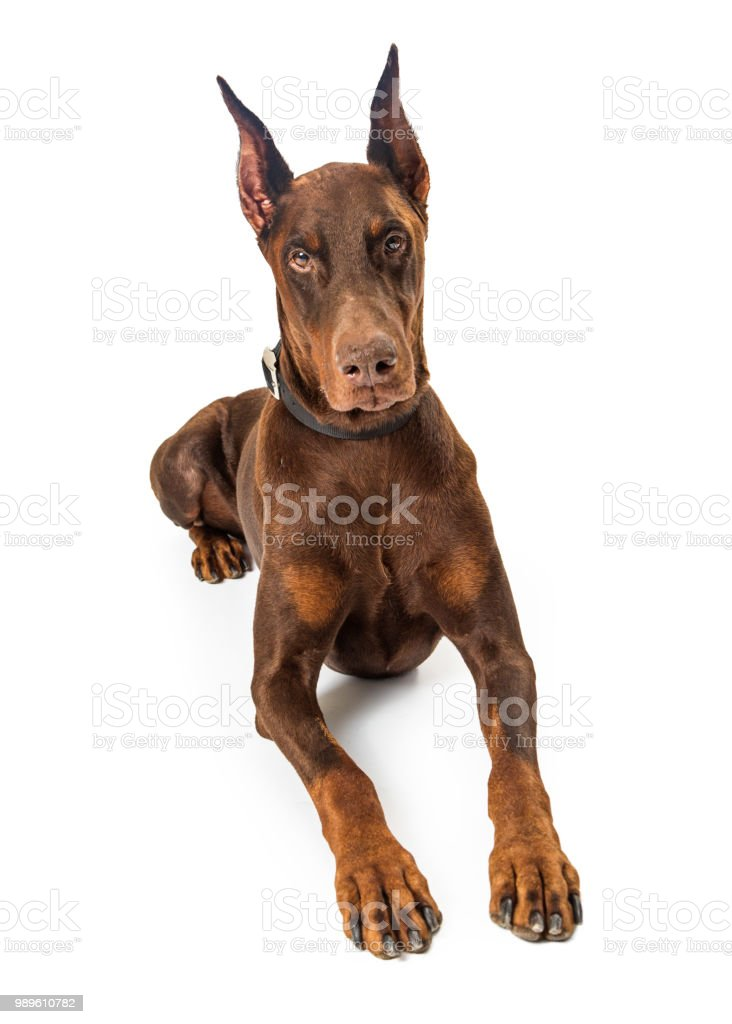 red doberman pinscher dog lying down stock photo more pictures of
