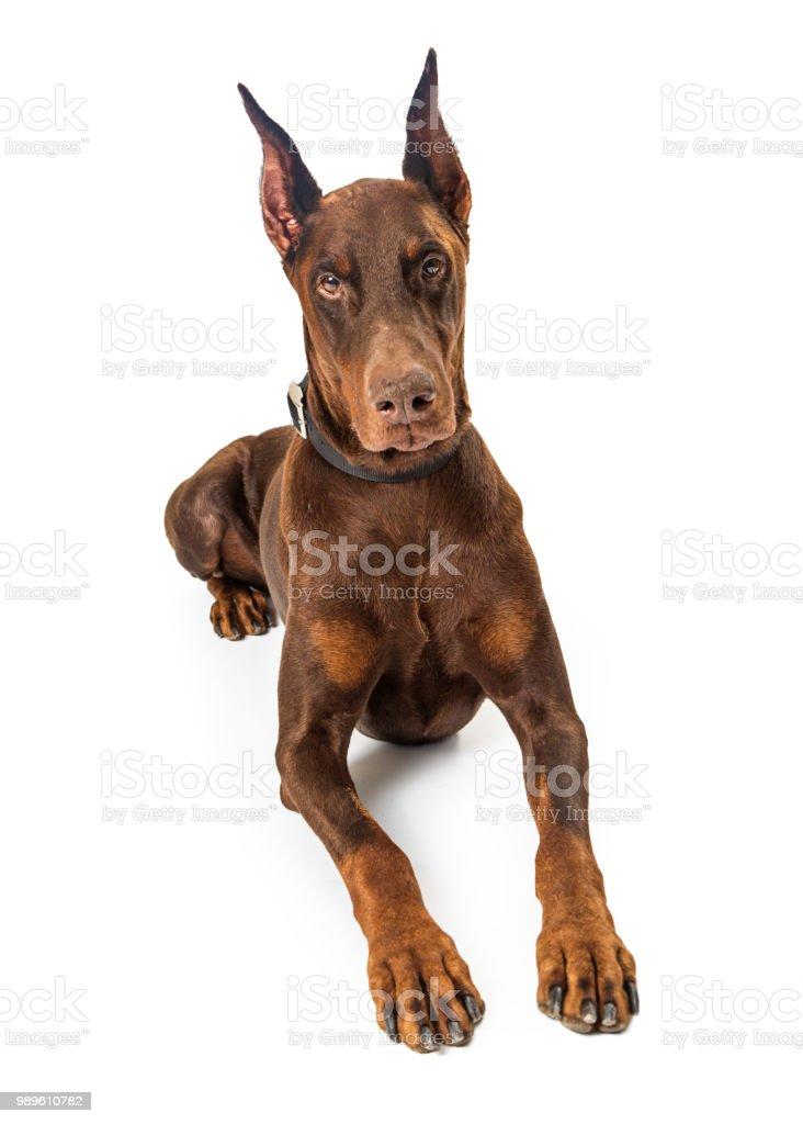 Perro Doberman Pinscher rojo acostado - foto de stock