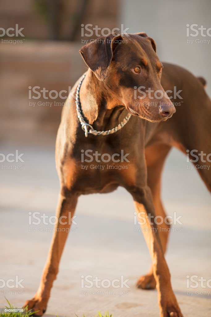 Red Doberman Pinscher Standing In A Patio Area Stock Photo Download Image Now Istock