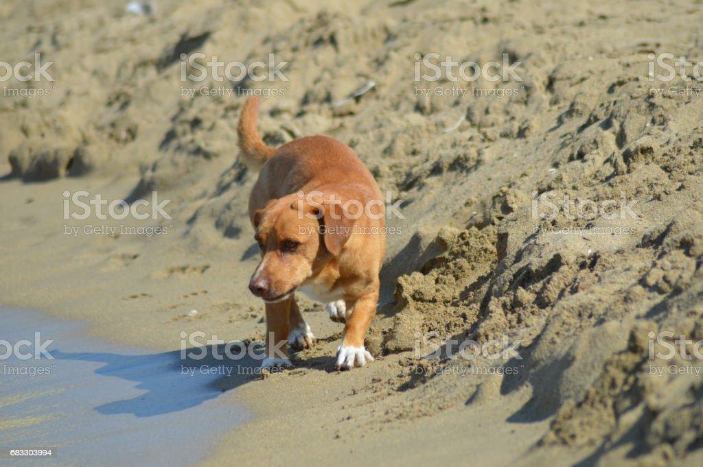 Red dog in front zbiór zdjęć royalty-free