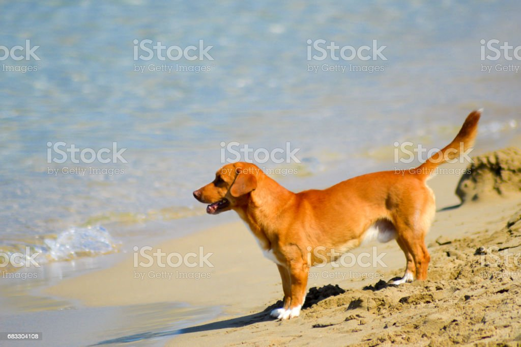 Red dog in front foto stock royalty-free