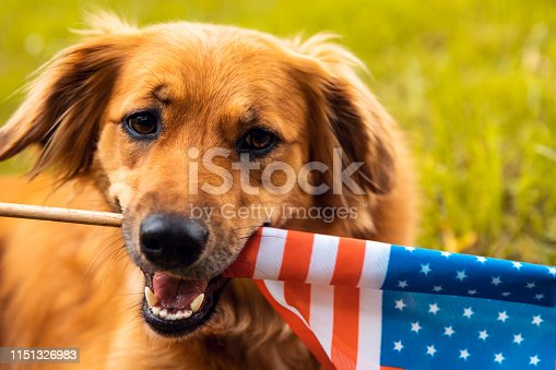 Cute dog holding American flag. USA Memorial or Independence day concept.