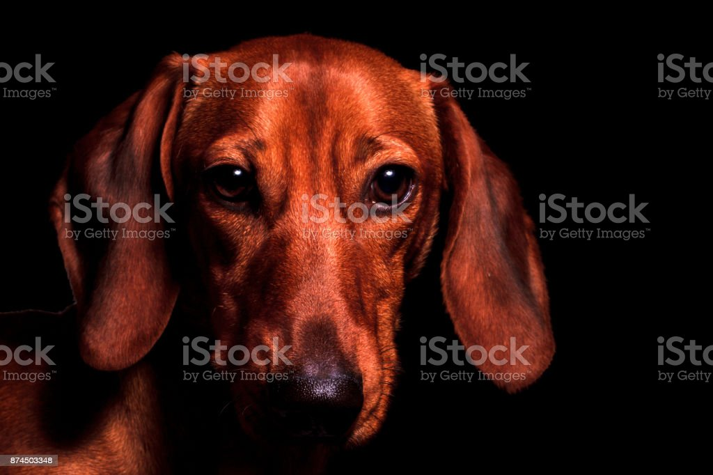 red dog portrait of the year 2018 symbol stock photo