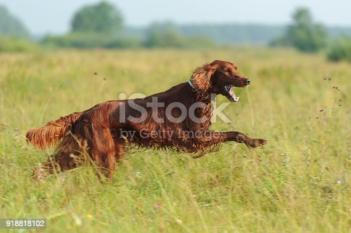 Red dog running against background  green grass, outdoors, horizontal