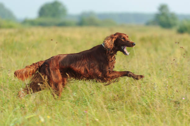 Red dog running against background  green grass Red dog running against background  green grass, outdoors, horizontal irish setter stock pictures, royalty-free photos & images