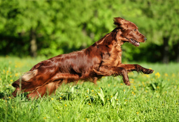 Red dog running against background  green grass Red dog running against background  green grass. Shallow DOF, focus on dog. Shooting with panning. irish setter stock pictures, royalty-free photos & images