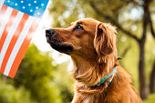 Cute dog looking to American flag. USA Memorial or Independence day concept.