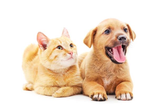 Red dog with a kitten picture id1169574080?b=1&k=6&m=1169574080&s=612x612&w=0&h=skbjkksghcvjyw2il1cycw4zy4qubaosyjbmb7rftlg=