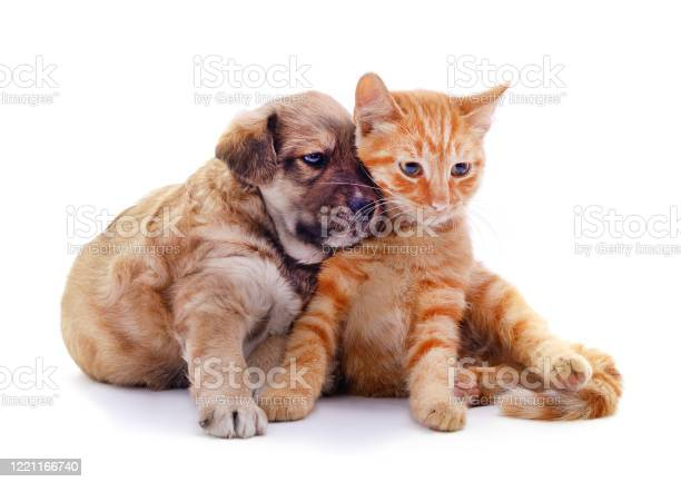 Red dog with a kitten picture id1221166740?b=1&k=6&m=1221166740&s=612x612&h=1mnrmirfhb28kp8bd osd3f5o2xs0bmdpay1nowapkm=