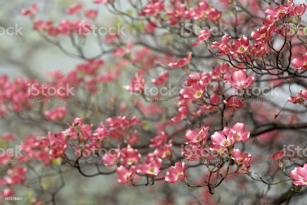 Red Dogwood on Foggy Day royalty-free stock photo