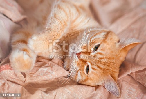 Cute red domestic cat lying in bed close-up.
