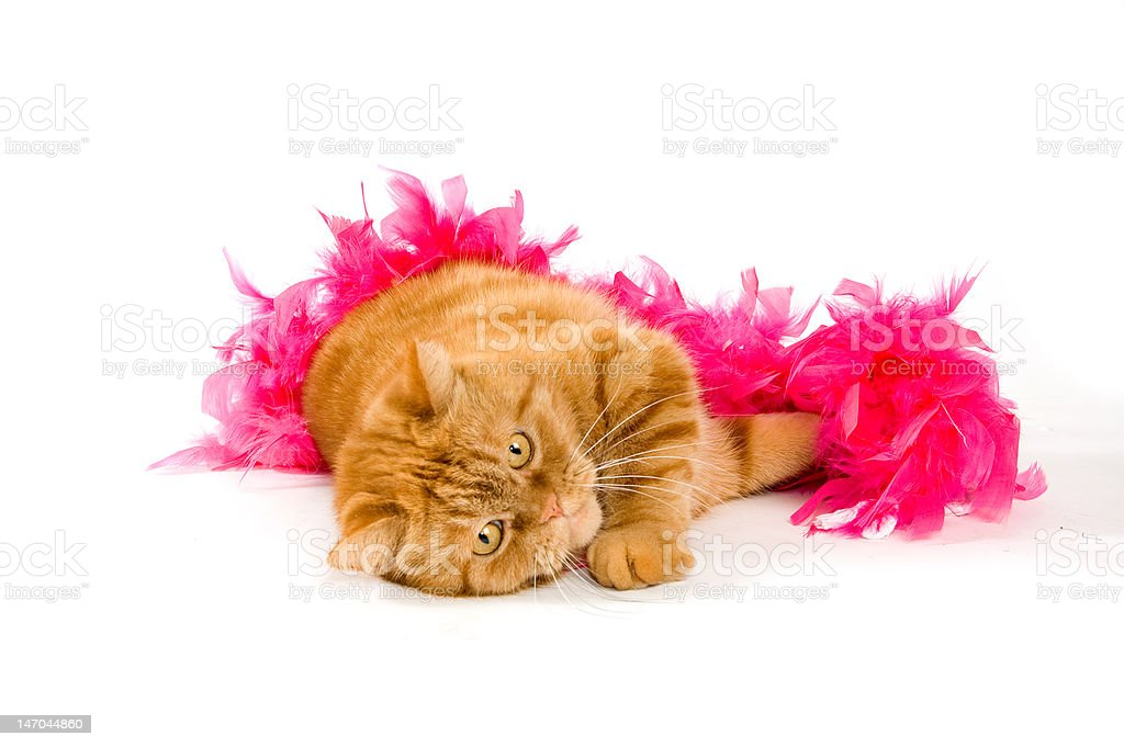 red domestic cat wrapped in a pink boa stock photo