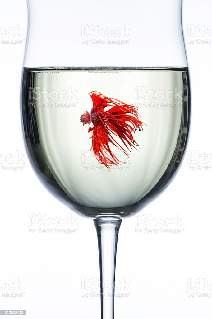 Red Dragon Betta Fish In Wine Glass Stock Photo & More Pictures of ...