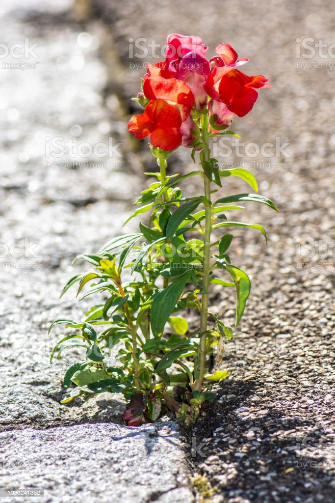 Closeup of a red dragon flower growing at the asphalt of a sidewalk