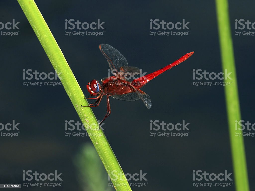 Red dragon fly over swamp royalty-free stock photo