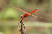 Red Dragon Fly.