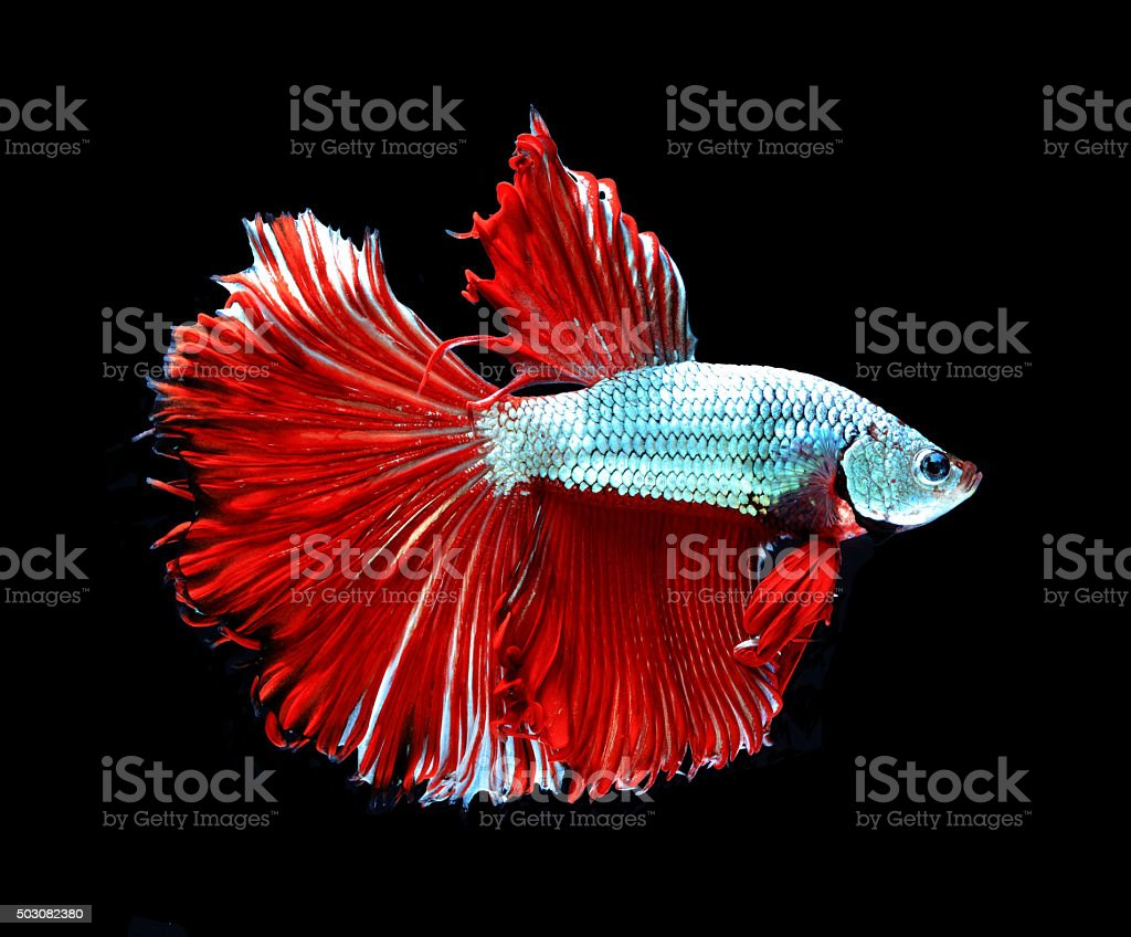 Red Dragon Siamese Fighting Fish Betta Fish Isolated On Black Stock ...