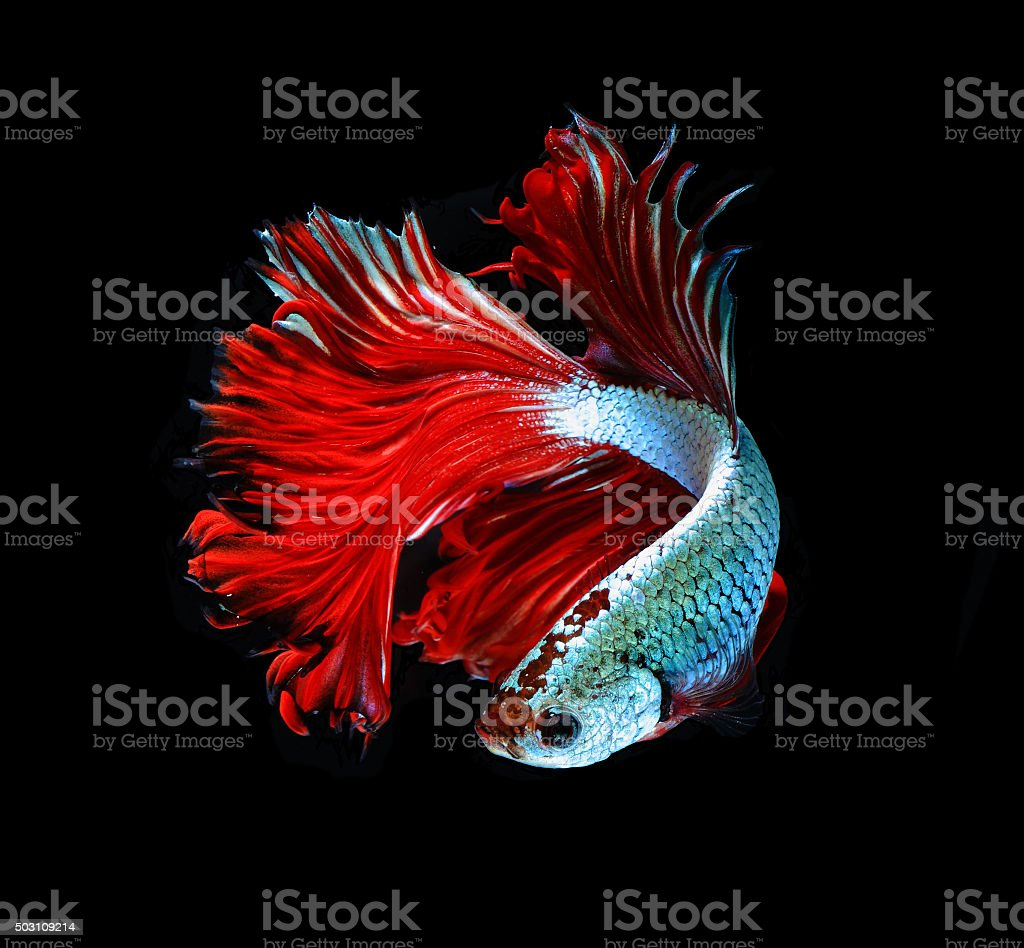 Red Dragon Siamese Fighting Fish Betta Fish Isolated On Black Stock