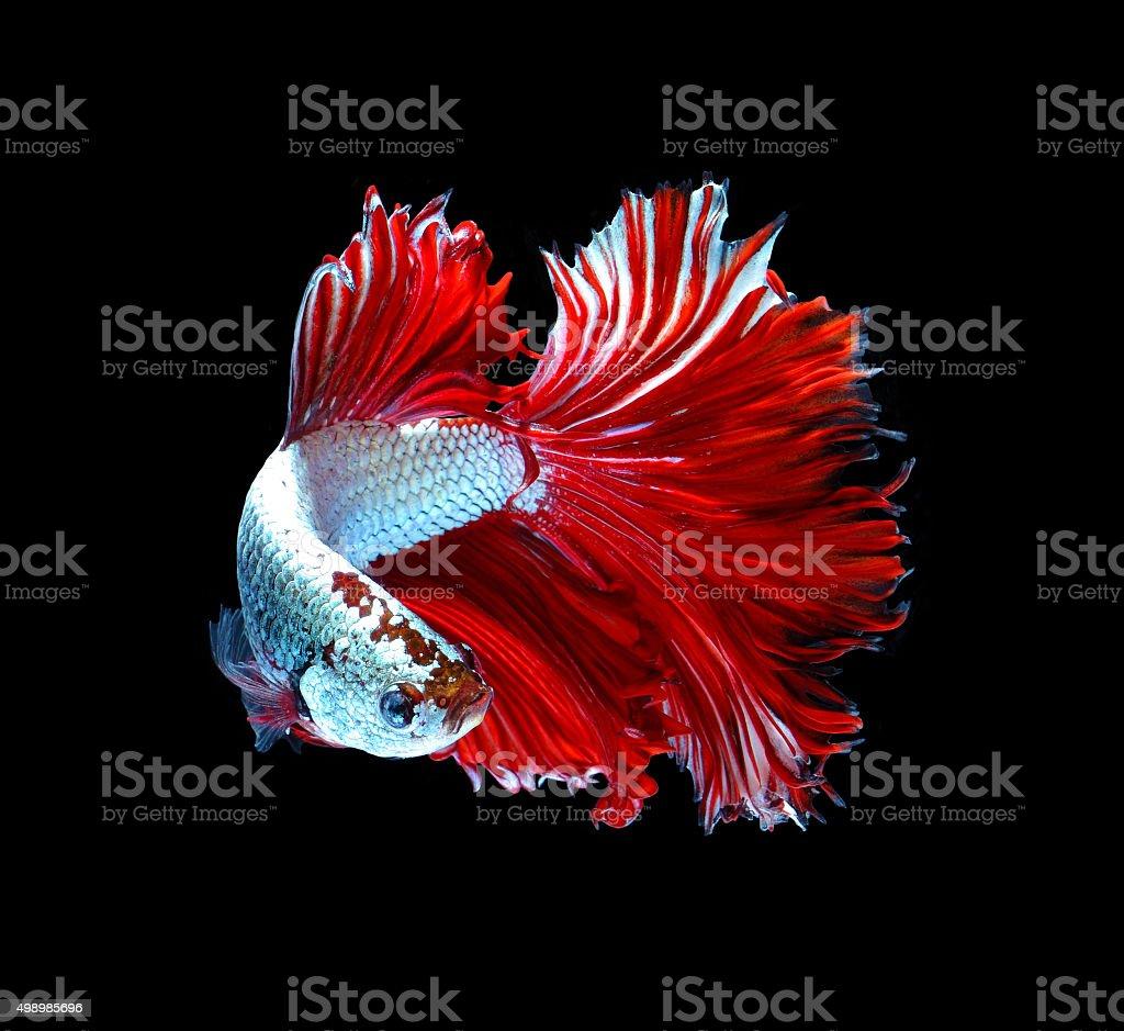 Red Dragon Siamese Fighting Fish Betta Fish Isolated Stock Photo ...