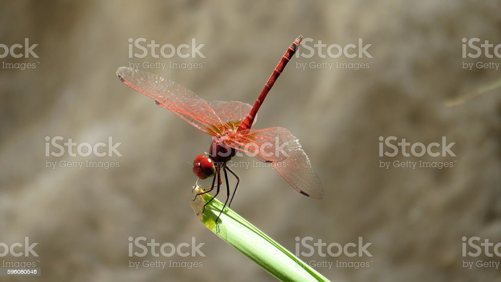 red dragonfly at ein gedi royalty-free stock photo