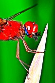 Red dragonfly eating insect.