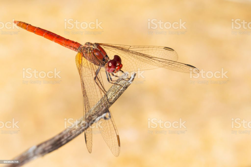 Red dragonfly in a natural environment against a soft background. stock photo