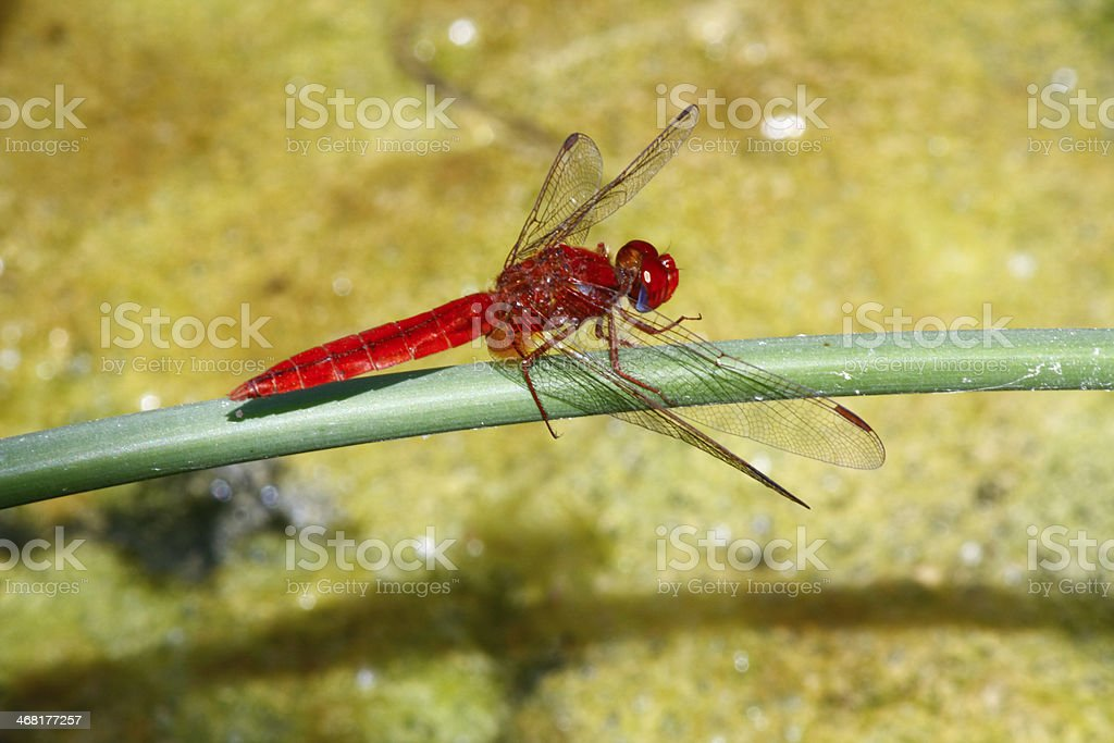 Red Dragonfly in Oman royalty-free stock photo