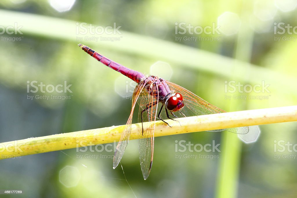 Red Dragonfly in Oman stock photo