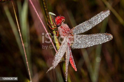 istock red dragonfly macro photography 1093608736