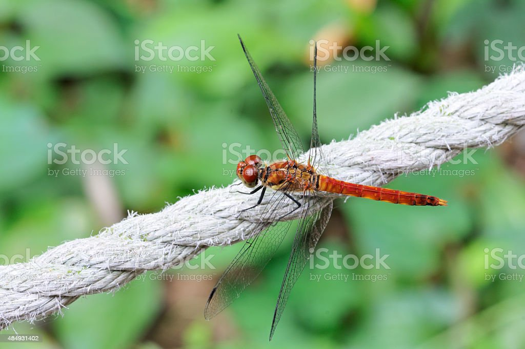 Red dragonfly of Japan stock photo