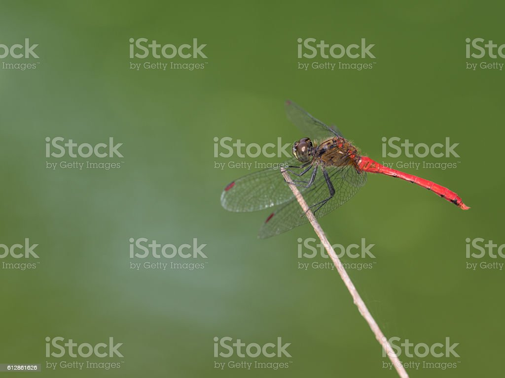Red dragonfly of the early fall – Foto