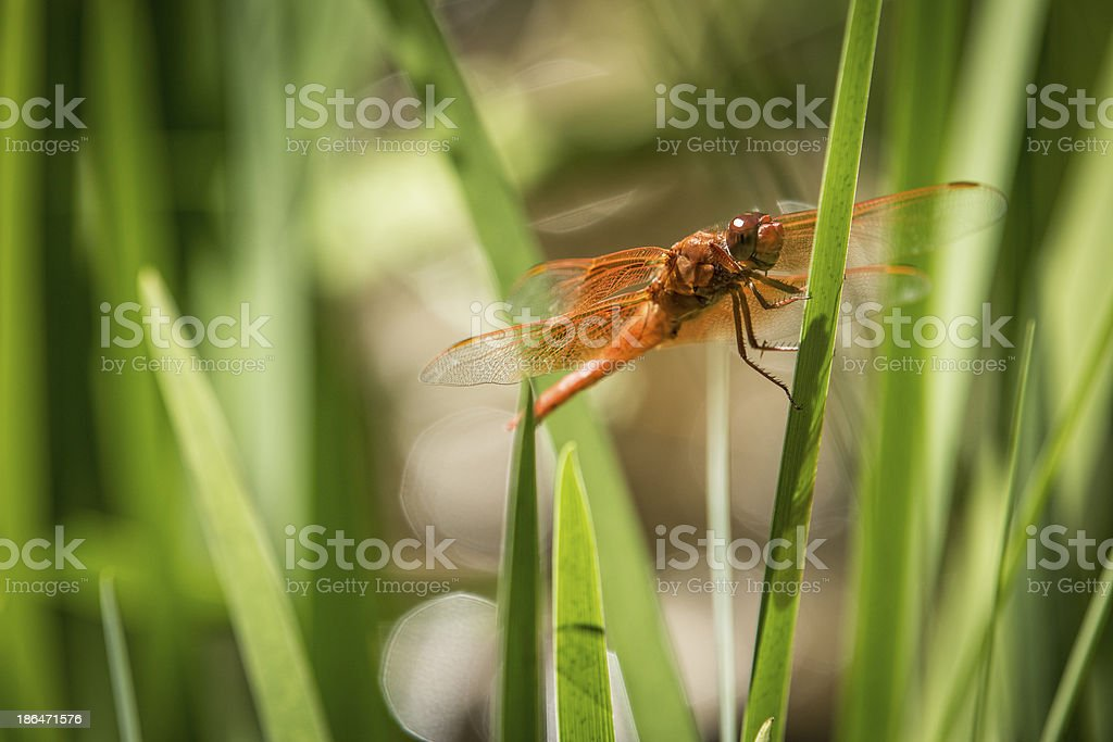 Red DragonFly on a Blade of Grass stock photo