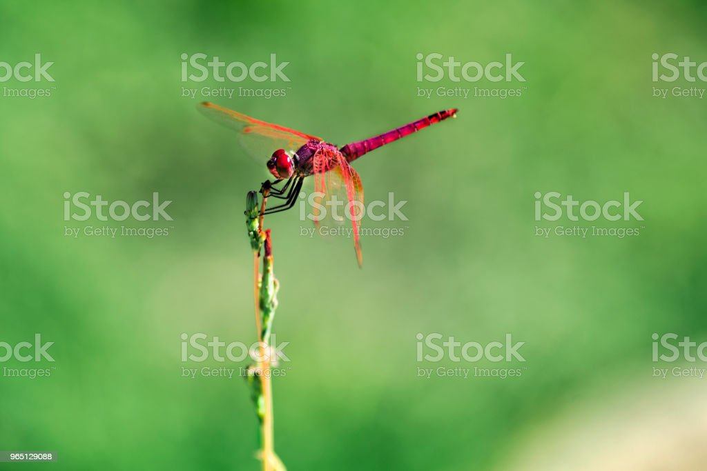 Red Dragonfly on a green background. zbiór zdjęć royalty-free