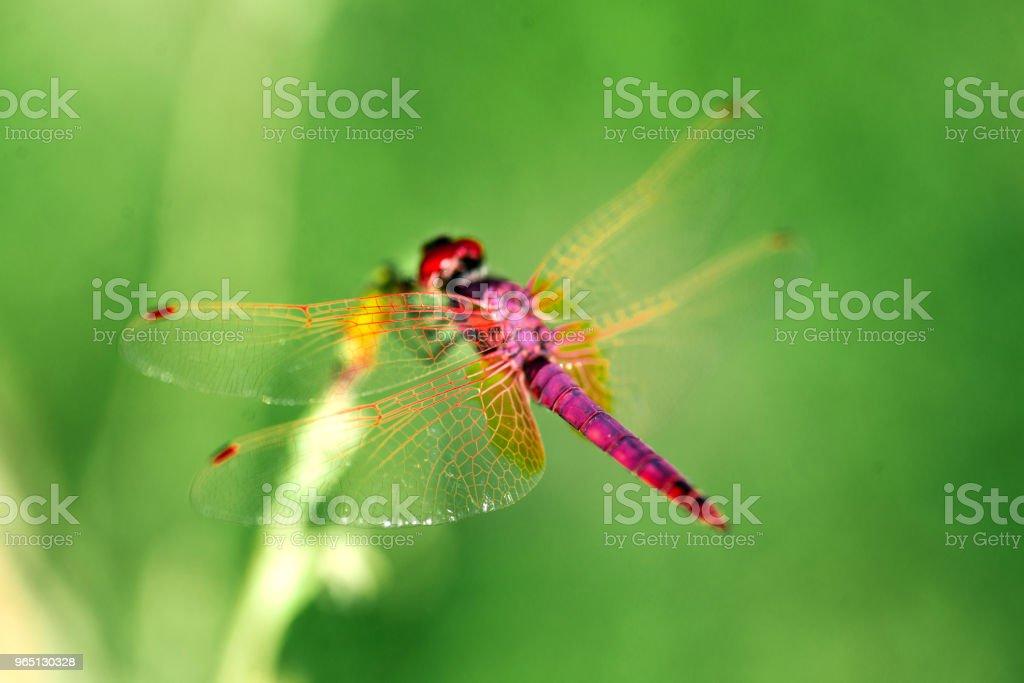 Red Dragonfly on a green background. zbiór zdjęć royalty-free