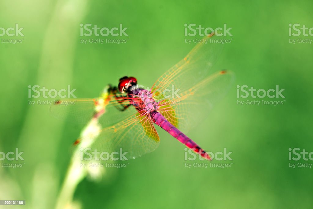 Red Dragonfly on a green background. royalty-free stock photo